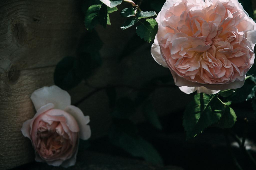 june roses, perfume, garden