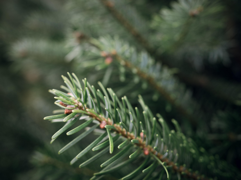 Choosing The Christmas Tree