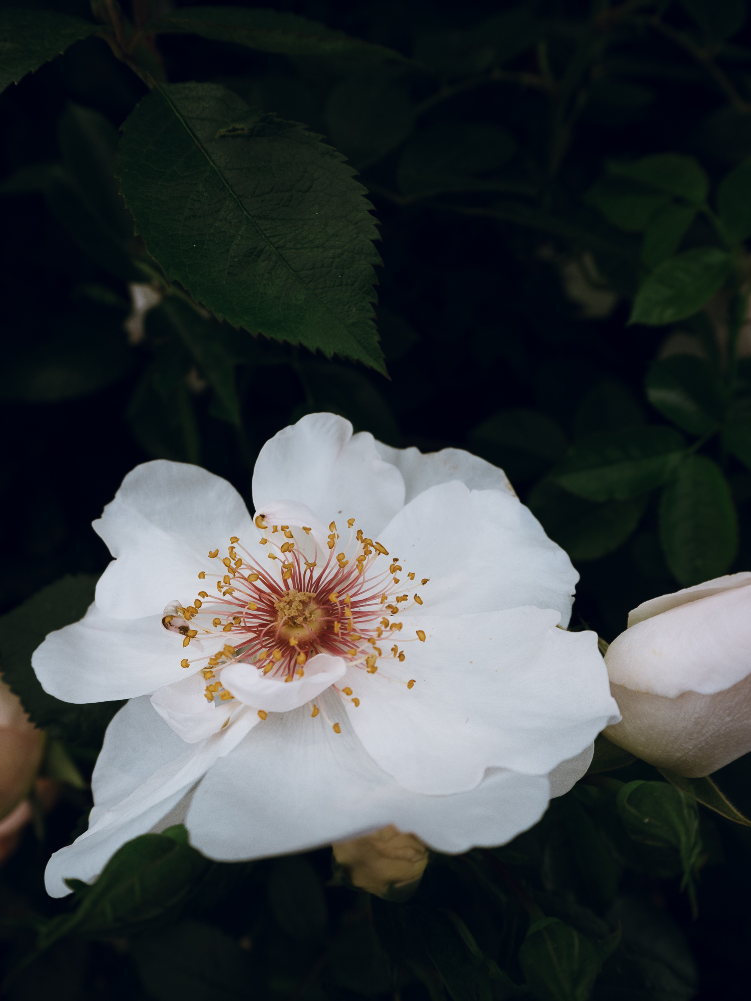white open rose at RHS Chatworth flower show Littlegreenshed lifestyle blog